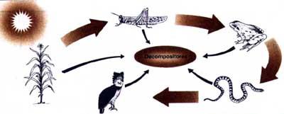 alimentar a reunião de várias cadeias forma uma teia alimentar